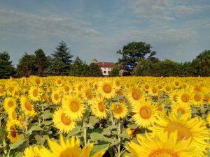 Chateau de Sadillac sun flowers